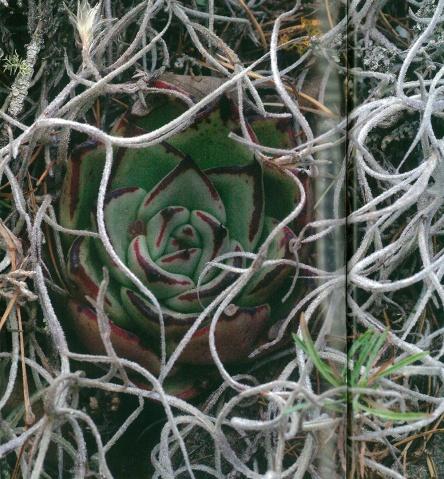 05. Echeveria agavoides, Puerto del Ranchito, S.L.P (pianta coperta dalla seminfestante, onnipresente, Tillandsia usneoides - N.d.A.) - (da Cactus & Co. Vol. 7, nr. 3-2003, p. 130 - Foto di J. Etter & M. Kristen).